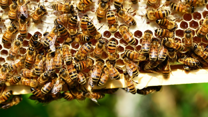 honey-bees-401238_1280-790x445.jpg